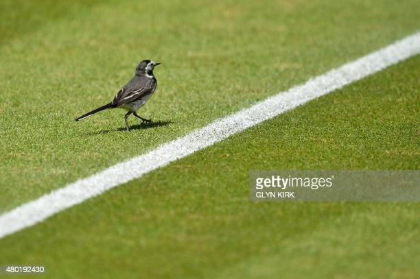 A piedwagtail bird walks across the grass on Center Court ahead of the men's semifinal match between Serbia's Novak Djokovic and France's Richard...