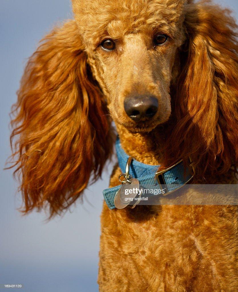 piercing dog stare : Stock Photo