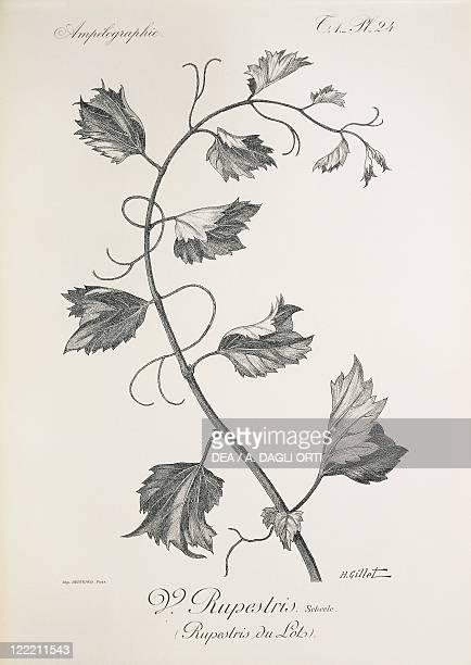 Pierre Viala Victor Vermorel Traite General de Viticulture Ampelographie 19011910 Tome VII plate Vitis rupestris Illustration by H Gillet