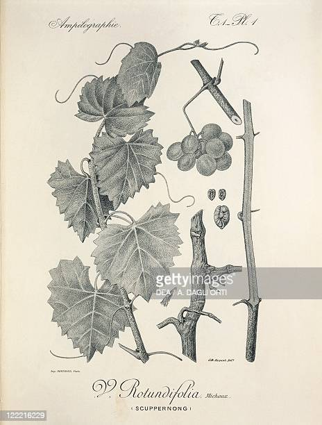 Pierre Viala Victor Vermorel Traite General de Viticulture Ampelographie 19011910 Tome VII plate Vitis rotundifolia Illustration by J B Drouot