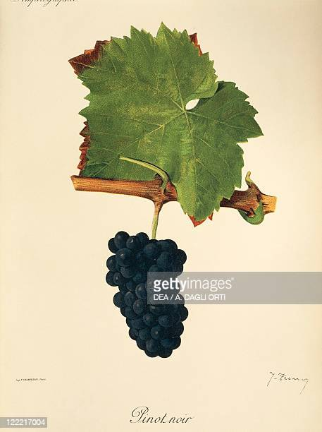 Pierre Viala Victor Vermorel Traite General de Viticulture Ampelographie 19011910 Tome II plate Pinot Noir grape Illustration by J Troncy