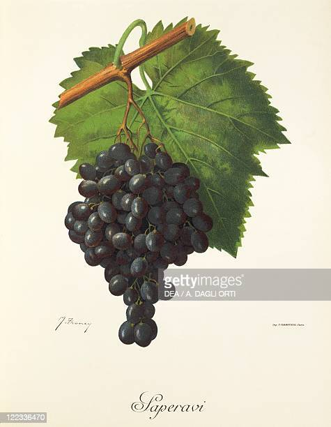 Pierre Viala Victor Vermorel Traite General de Viticulture Ampelographie 19011910 Tome VI plate Saperavi grape Illustration by J Troncy