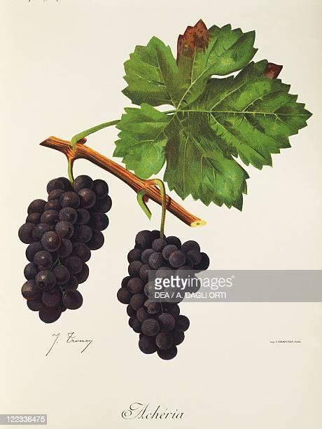 Pierre Viala Victor Vermorel Traite General de Viticulture Ampelographie 19011910 Tome VI plate Acheria grape Illustration by J Troncy