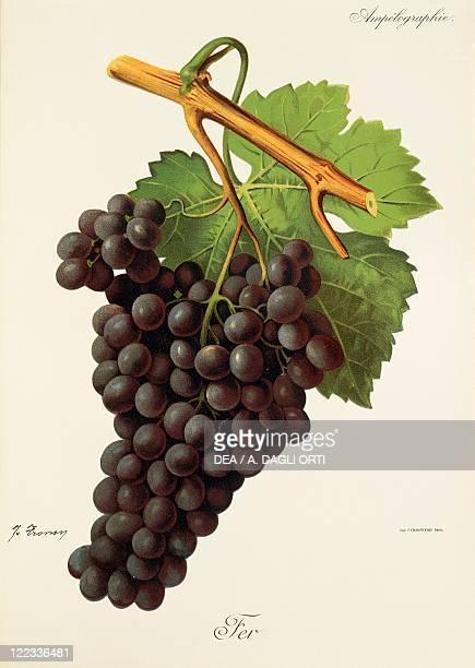 Pierre Viala Victor Vermorel Traite General de Viticulture Ampelographie 19011910 Tome VI plate Fer grape Illustration by J Troncy