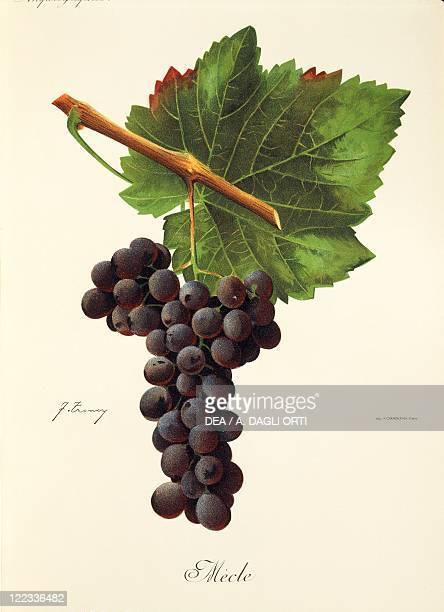 Pierre Viala Victor Vermorel Traite General de Viticulture Ampelographie 19011910 Tome VI plate Mecle grape Illustration by J Troncy