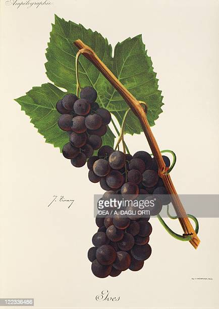 Pierre Viala Victor Vermorel Traite General de Viticulture Ampelographie 19011910 Tome VI plate Ives grape Illustration by J Troncy