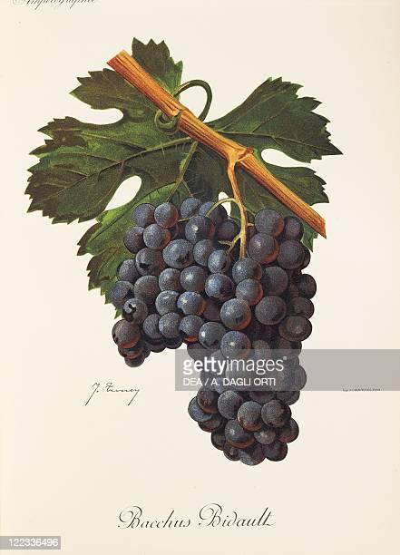 Pierre Viala Victor Vermorel Traite General de Viticulture Ampelographie 19011910 Tome VI plate Bacchus Bidault grape Illustration by J Troncy