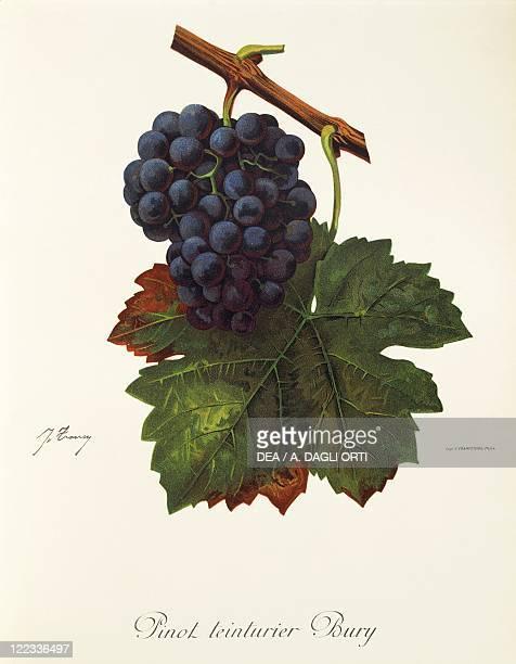 Pierre Viala Victor Vermorel Traite General de Viticulture Ampelographie 19011910 Tome VI plate Pinot Teinturier Bury grape Illustration by J Troncy