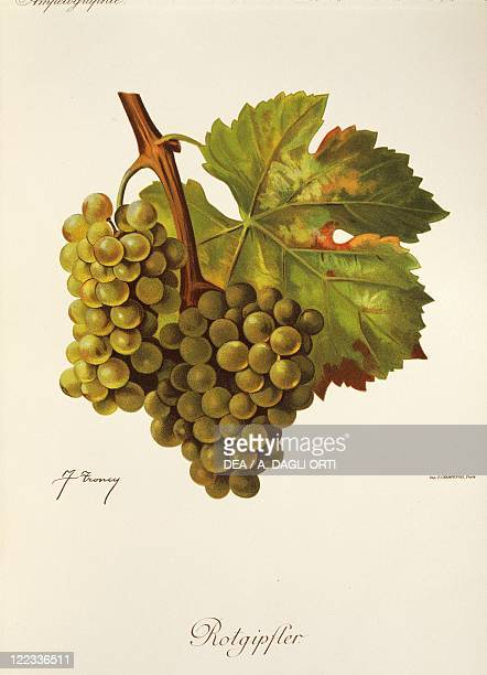 Pierre Viala Victor Vermorel Traite General de Viticulture Ampelographie 19011910 Tome VI plate Rotgipfter grape Illustration by J Troncy