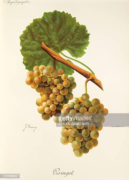 Pierre Viala Victor Vermorel Traite General de Viticulture Ampelographie 19011910 Tome VI plate Gringet grape Illustration by J Troncy