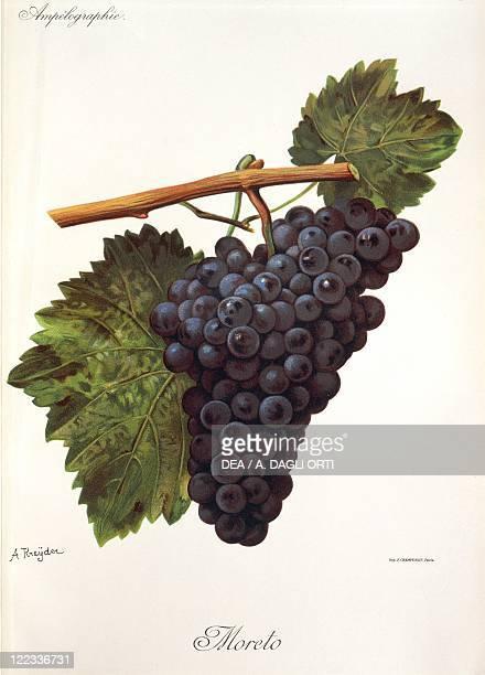Pierre Viala Victor Vermorel Traite General de Viticulture Ampelographie 19011910 Tome V plate Moreto grape Illustration by A Kreyder
