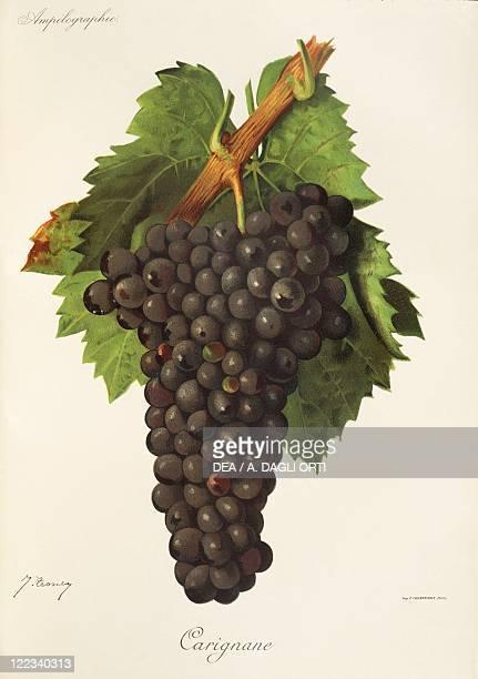 Pierre Viala Victor Vermorel Traite General de Viticulture Ampelographie 19011910 Tome VI plate Carignane grape Illustration by J Troncy