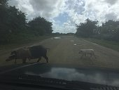 Pig And Piglet Crossing Road Against Sky Seen From Car Windshield