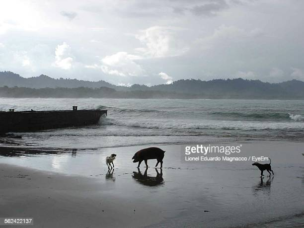 Pig And Two Dogs Walking On Beach