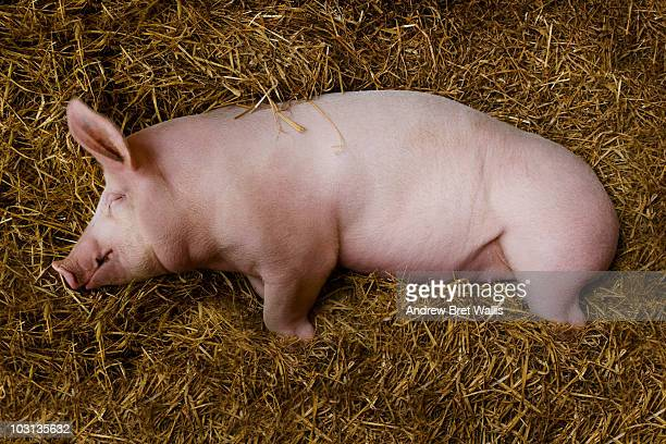 pig asleep on a bed of straw