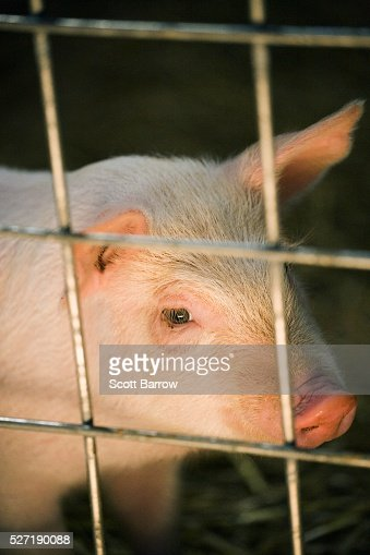 Pig behind a fence : Stock Photo