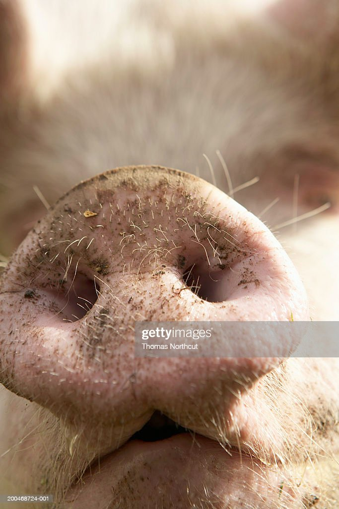 Pig, close-up of snout : Stock Photo