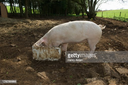 Pig eating from bucket outdoors