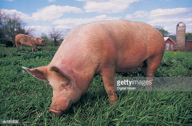 Pig grazing in field