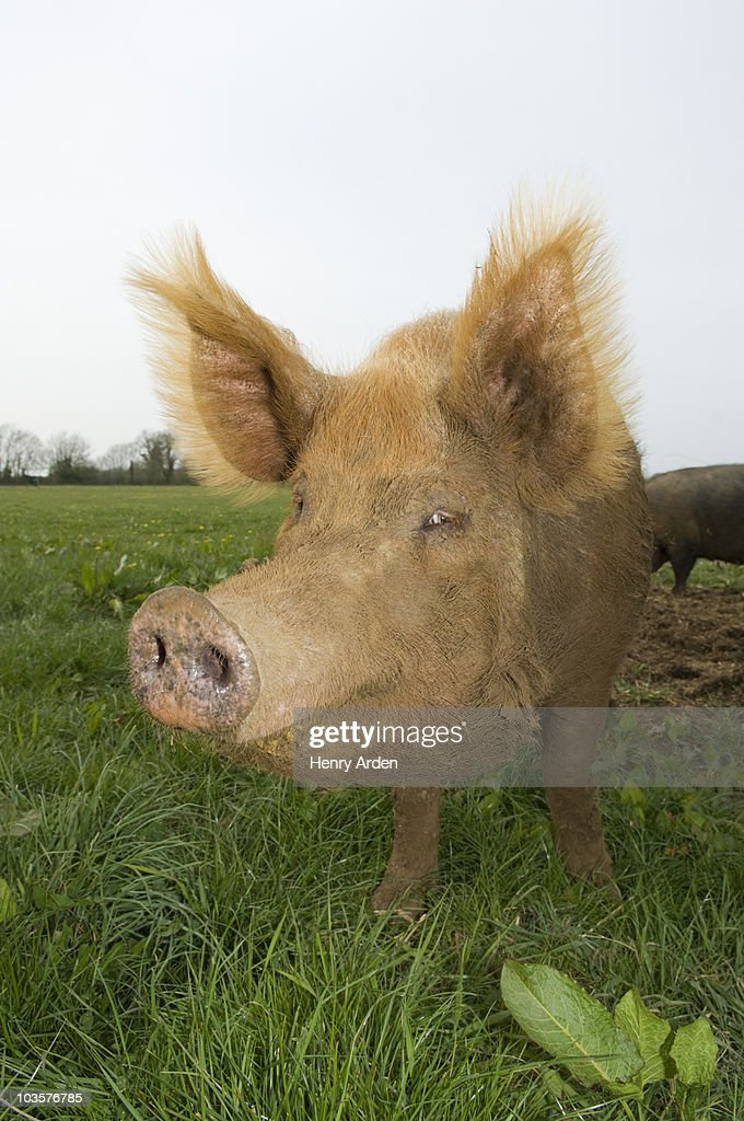 Pig in field : Stock Photo