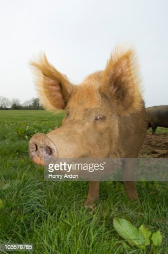 Pig in field : Photo