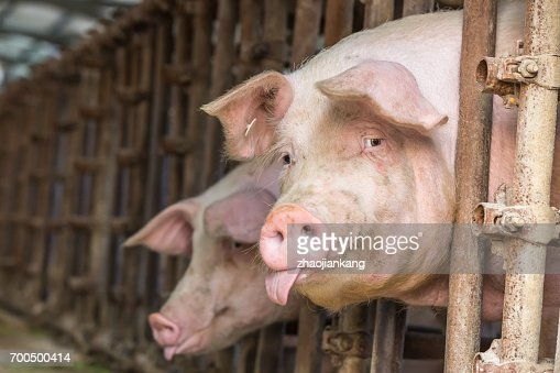 Pig in the countryside farm : Stock Photo