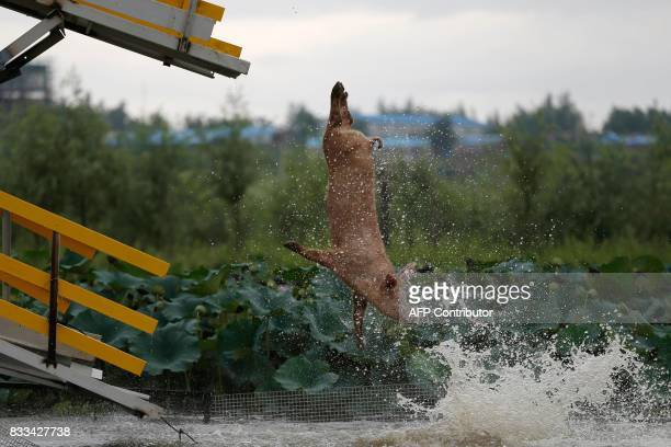 A pig jumps into a pond in Shenyang in China's northeastern Liaoning province on August 17 2017 The Chinese pig farmer trains his pigs to dive from a...