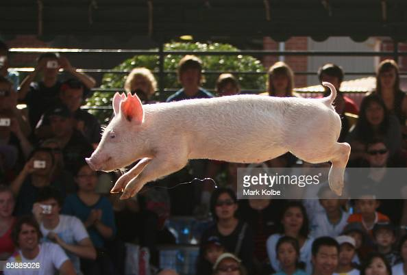 A pig jumps through the air at the Pig Racing and Diving display at the Sydney Royal Easter Show on April 10 2009 in Sydney Australia