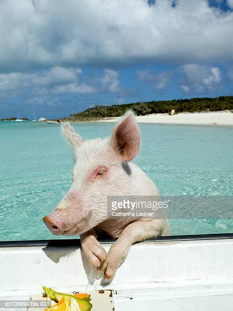Pig leaning on side of boat with fruit on plate