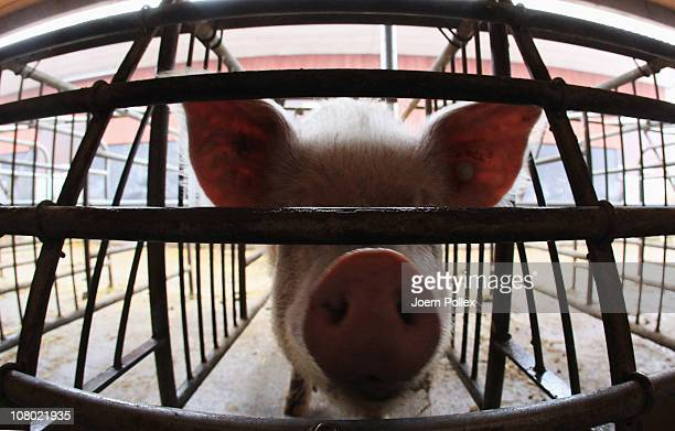 A pig looks out from its pen at the Ebsen organic farm on January 13 2011 in Langenhorn Germany Organic foods retailers are reporting a surge in...