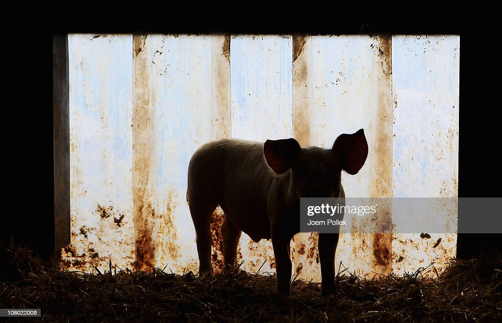 A pig looks out from its pen at the Ebsen organic farm on January 13, 2011 in Langenhorn, Germany. Organic foods retailers are reporting a surge in demand following the recent dioxin contamination scandal sparked by the announcement by the German company Harles and Jentzsch that some of the fatty proteins it had supplied to animals feeds producers was tainted with dioxin. German authorities responded by barring 4,700 mostly poultry and hog farms from selling their products until laboratory tests could guarantee them dioxin free. Investigators are meanwhile pursuing a criminal investigation against the leading employees at Harles and Jentzsch. Organic farms have thus far been immune from the scandal since they use no industrially-produced animal feed.