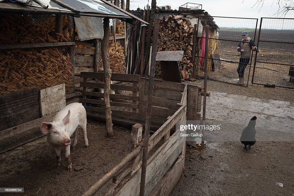 A pig looks out from its pen on the small farm of Mirela Cautis on March 12, 2013 in Sarulesti, Romania. Mirela and her husband Dumitru have received a small grant from the European Union over a five-year period to pay for feed and some new equipment. Dumitru has a day job and Mirela tends to the farm, which includes four cows, six mature pigs and twenty piglets, chickens, turkeys and two greenhouses for growing vegetables, as well as two hectares of land. Mirela says the biggest problem she faces is the absence of a market to sell her products, as there are no weekly farmers markets in her area. Rural poverty is a chronic problem in Romania, as the nation's agricultural sector remains chronically underdeveloped. Both Romania and Bulgaria have been members of the European Union since 2007 and restrictions on their citizens' right to work within the EU are scheduled to end by the end of this year. However Germany's interior minister announced recently that he would veto the two countries' entry into the Schengen Agreement, which would not affect labour rights but would prevent passport-free travel.