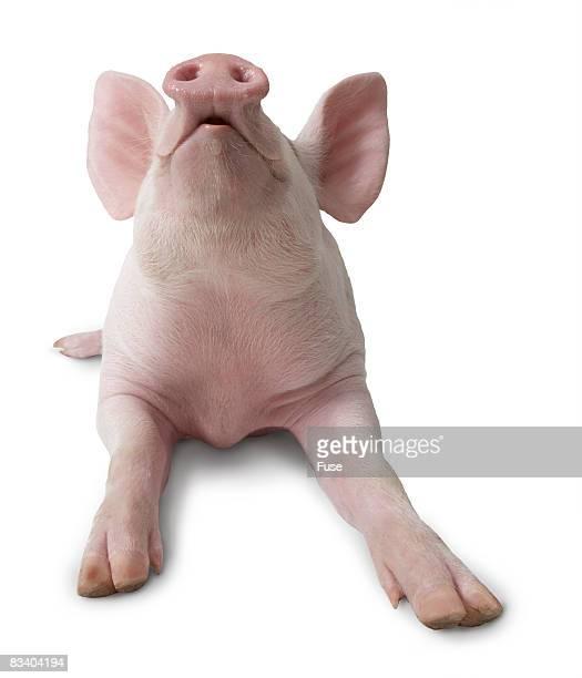 Pig Lying Down