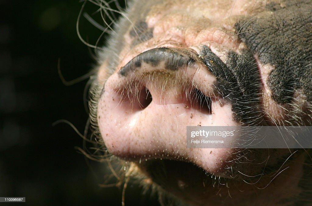 Pig nose : Stock Photo