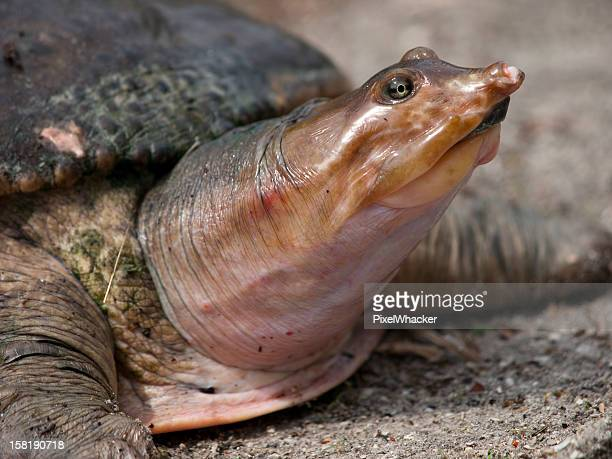 Pig nosed turtle close up of face.
