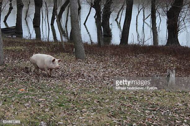 Pig On Field By River