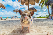 Home Pig walks along the beach in Cancun