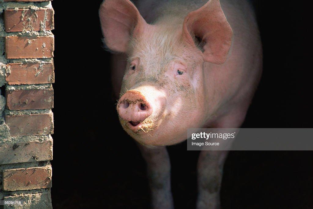 Pig : Stock Photo