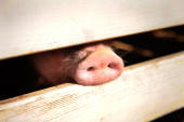 A pig pokes his snout through the rails of it's holding pen at the 61st Montgomery County Agricultural Fair on August 19 2009 in Gaithersburg...
