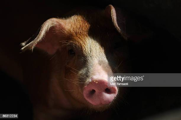A pig sits inside it's pen at the farm on May 1 2009 in Yogyakarta Indonesia The World Health Organisation has issued a phase five Swine Influenza...
