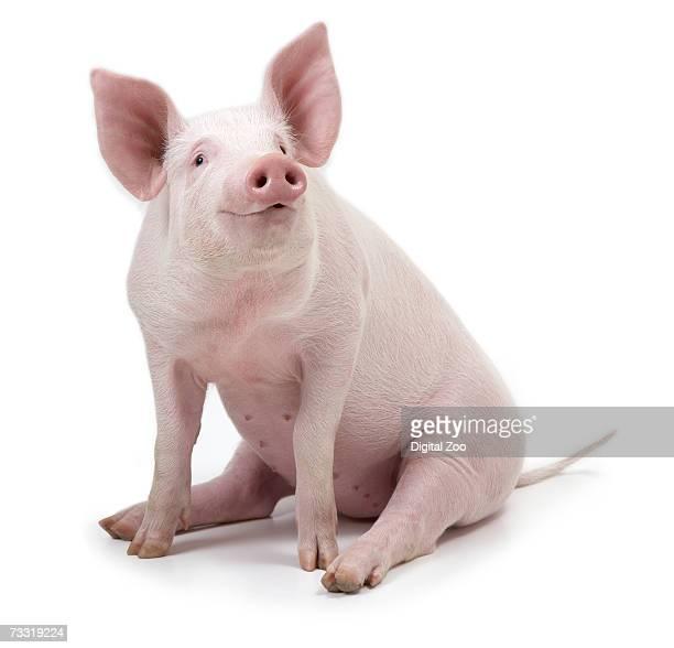 Pig sitting, white background