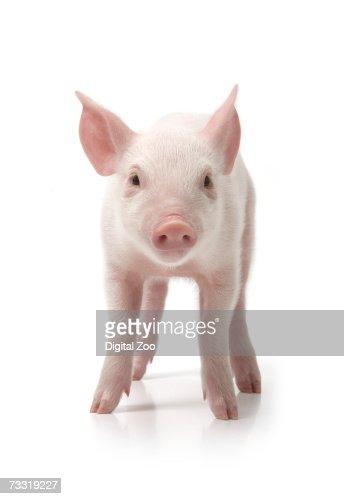 Pig standing, front view, white background