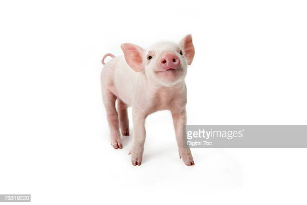 Pig standing looking up, white background