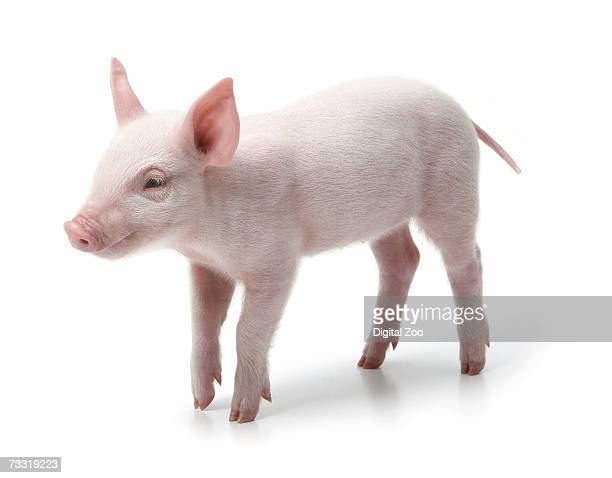 Pig standing, white background
