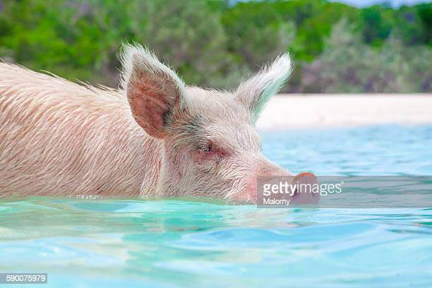 Pig swimming in water