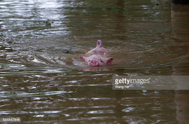 A pig swims in the flood after Jushui River broke the dyke and flooded DongChun village in Wuhan in central China's Hubei province Saturday July 03...