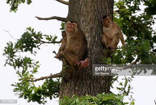 Pig tailed macaque family