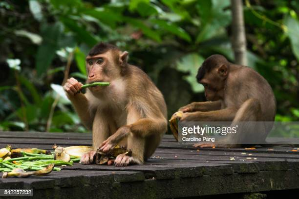 Pig tailed macaques.