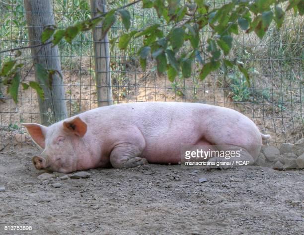 Pig taking a nap