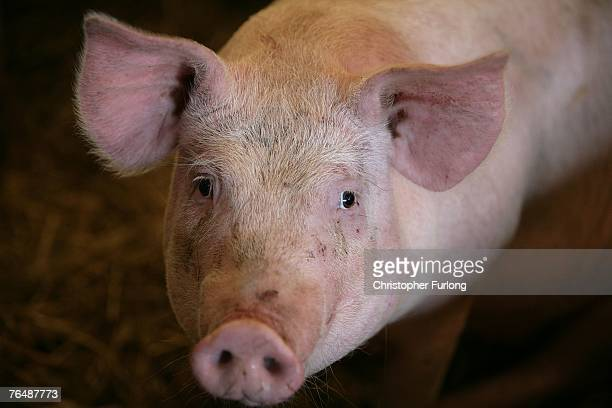 A pig waits to be auctioned to farmers and buyers attending the York Livestock Auction after restrictions due to the Foot and Mouth Disease outbreak...
